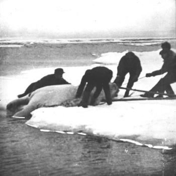 "While some of the expedition members were working on land, the ""Blaafjell"" went out into the open waters off the eastern mouth of the Matochkin Strait. Here a polar bear was shot in the water. It took five men to get it up on land for skinning. The skin was then further processed on the boat."