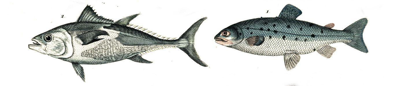Bildet kan inneholde: slutt, organisme, fisk, hale, ray-finned fisk.